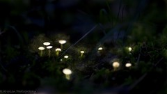 glowing mushrooms (Oberson Robin) Tags: trees tree nature mushroom robin night forest photography 50mm nacht sony magic natur sigma fairy 99 glowing alpha pilze wald baum tale elves pilz fee elfen magie roberson fabel leuchtende oberson leuchtender feeendtaub