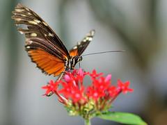 Heliconius sp JVA_0086 (mrjean.eu) Tags: sara sp atlas demi insectes attacus papillons heliconiinae deuil heliconius phaetusa dryatula