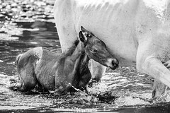 Carinho Dado (Marco Abud) Tags: wild horses horse baby brasil fauna shower flora carinho wildlife natureza bio família vida bebê cavalos filhote pantanal banho matogrossodosul potro biome união proteção abud vidaselvagem potrinho florabrasileira aquidauana bioma faunabrasileira aoarlivre pantanalsul faunaeflora aquidauanams fazenda23demarço marcoabudfotografia marcoabud abudesigner abudfotografia fazenda23demarçoms