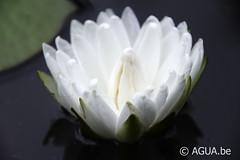 DSC_9703 (Waterlelie.be) Tags: white franklin petals northcarolina 1991 1000 nymphaea verenigdestatenvanamerika zaailing ouderschap perryswatergardens noordamerika odoratawortelstok nymphaeawhite1000petals white1000petals znymphaealilypons