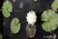 DSC_9712 (Waterlelie.be) Tags: white franklin petals northcarolina 1991 1000 nymphaea verenigdestatenvanamerika zaailing ouderschap perryswatergardens noordamerika odoratawortelstok nymphaeawhite1000petals white1000petals znymphaealilypons