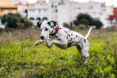 Jaguar style (Leo Hidalgo (@yompyz)) Tags: espaa dog love film animal canon photography eos reflex jump spain random cam like perro dslr dalmatian mlaga mijas lightroom 6d fotografa dlmata pitia vsco ileohidalgo yompyz