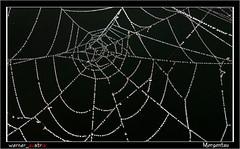 11-15 8972_Morgentau (werner_austria) Tags: spinne spinnennetz autofocus morgentau