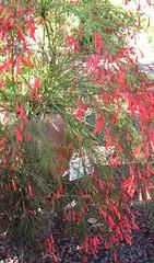 Russalia equisetiformis. Botanischetuinen Maspalomas. Gran Canaria. (1934bert) Tags: russeliaequisetiformis