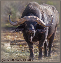 Cape Buffalo (ctofcsco) Tags: 14x 1640 1div 28 280mm canon capebuffalo classmammalia colorado ef200mmf2lisusm ef200mmf2lisusm14x eos1dmarkiv explore extender extender14x extender14xii extenderef14x extenderef14xii familybovidae genussyncerus mark4 markiv bokeh denver denverzoo explored nature northamerica statecapitol vinestreethouses wildlife zoo orderartiodactyla speciescaffer supertelephoto synceruscaffer teleconverter telephoto unitedstates usa backlit back lighting afternoonsunshine animal outdoor best wonderful perfect fabulous great photo pic picture image photograph