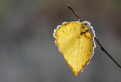 Dipped in sugar (mennomenno.) Tags: autumn nature leaf frost herfst natuur vorst blaadje hartje littleheart