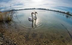swans (21) (Vlado Ferenčić) Tags: birds animals swan lakes croatia fisheye swans hrvatska nikond600 zaprešić sigma1528fisheye zajarki lakezajarki