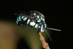 Roosting neon cuckoo bee (Jenny Thynne) Tags: insect australia brisbane bee queensland roosting cuckoo hymenoptera pollinator thyreusnitidulus neoncuckoobee