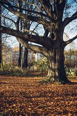 old one (marcuslange) Tags: park street tree zeiss germany deutschland eos 50mm kodak bokeh saxony streetphotography sachsen 5d fullframe baum stadtpark chemnitz kodakgold zeissplanar zeiss50mm vsco planar5014ze zeissze 5dmk3 eos5dmarkiii vscofilm bokehmycafe