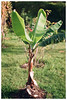 Banana (Patrick J. Negwer) Tags: chicken ecuador green dirt earth tierra verde gallinas gallo plantas higo figs plants fig sprouts calendula banana radish bumblebee alfa kitchen