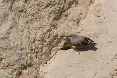 12-5680 (fix.68) Tags: oiseau tichodromeéchelette