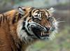 sumatran tiger Burgerszoo JN6A5431 (j.a.kok) Tags: tijger tiger sumatraansetijger sumatrantiger azie asia sumatra mammal zoogdier cat kat pantheratigrissumatrae predator burgerszoo