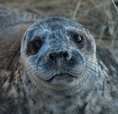 Seal Pup 1 (selvagedavid38) Tags: seal horsey beach pup cute fotocompetitionbronze