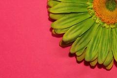 Corner--HMM! (amarilloladi) Tags: 7dwf macro fuchsia silkflowers flower flowers chartreuse corner macromondays