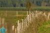 Great Gray Shrike (Lanius excubitor) Plėšrioji medšarkė