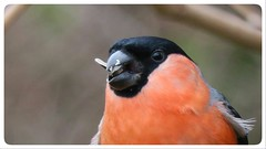 Bullfinch wildlife feeding