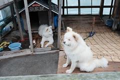 わさおとチョメ (pon-ko) Tags: 青森 aomori 鰺ヶ沢 aji ajigasawa 犬 dog xt1