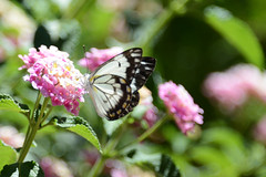 Butterfly 1 (Ptolemy the Cat) Tags: butterfly insect nature flower garden nikond600 nikonf355628300mmlens blur bokeh