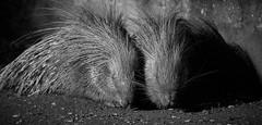 forever together (rondoudou87) Tags: pentax k1 nature natur parc zoo reynou noiretblanc noir blanc black blackwhite monochrome wildlife wild cute mignon kawai porcepic porcupine