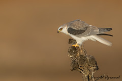 Juvenile White-tailed Kite - IMG_2356.1 (arvind agrawal) Tags: whitetailedkite kite coyotehills fremont sanfrancisco bayarea canon1dx canon600mm wildlife bird raptor rodent prey goldenlight