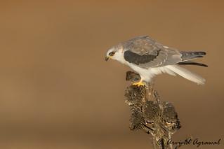 Juvenile White-tailed Kite - IMG_2356.1