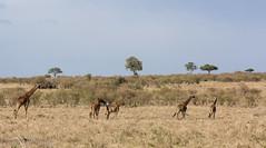 Masai giraffe (mirsasha) Tags: january kenya masaimara 2017 masaigiraffe narokcounty ke