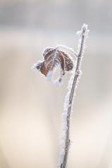 (gabriella.hafner) Tags: winter hungary zúzmara cold hideg hó snownature macro