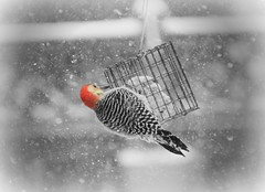 Red-Bellied Woodpecker (karma (Karen)) Tags: baltimore maryland home backyard birds redbelliedwoodpecker sliderssunday hss topf25 selectcolor hbw