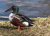 Like a Duck Out of Water (918monty) Tags: waterfowl ducks northernshovelerduck allentexas lakes parks wildlife behanylakesparkallentexas colorfulduck feathers duckfeathers