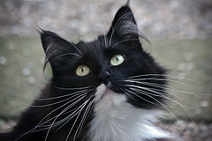 GAYA (K.Verhulst) Tags: gaya cats cat poes huisdier pet noorseboskat boskat norwegianforestcat forestcat