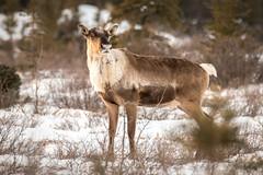 Caribou with blob (frostnip907) Tags: caribou wildlife nature alaska winter