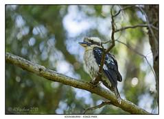 Kookaburra (JChipchase) Tags: kookaburra perth kingspark bird westernaustralia wildlife nikon d750