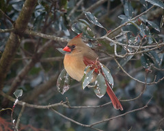 1/8 Lady Cardinal Waits Her Turn (Karol A Olson) Tags: cardinal backyard maryland winter feeder tree jan17 project3652017 mdpd2017