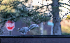 not stopping (Dotsy McCurly) Tags: stopping stop sign squirrel fence run running fast motion blur morning bokeh dof canoneos5dmarkiii nj looks like its