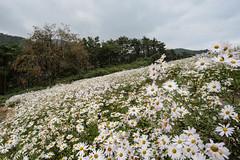 S16_1575 (Daegeon Shin) Tags: nikon d4 nikkor 20mm 20mmf18 flower flor persimmon caqui chrysanthemum crisantemo field campo 니콘 꽃 꽃밭 구절초 감