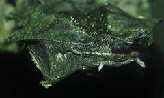 Matamata Turtle (Chelus fimbriatus) _DSC0192 (ikerekes81) Tags: matamataturtlechelusfimbriatus matamataturtle chelusfimbriatus matamata turtle chelus fimbriatus reptile reptilediscoverycenterzoonationalnational rdc reptilediscoverycenter washingtondczoo washingtondc washington dc dczoo zoo zoosmithsonian smithsoniannationalzoologicalpark smithsonian smithsoniannationalzoo national nationalzoo nikond3200 nikon d3200 18105mm sb700 istvankerekes istvan kerekes ik