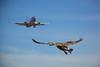 Air Traffic (swong95765) Tags: bird plane jet sky traffic avoidance hazards airspace animal flaps