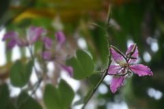 Flowers, Bali (Manoo Mistry) Tags: nikond5500body nikon tamron18270mmzoom bali indonesia tourism villalumbung seminyak plant flower flicker