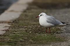 Black-headed Gull (kidbirder) Tags: