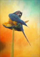 getting beautified. (evelyng23) Tags: araararauna macaw parrot wild noncaptive flock population blueandgoldmacaw blueandgold birding wildlife avian bird preening beautified preen exotic 2016 evelyng23 pentaxk3 aficionados sigma 300mmf28 420mm 14xtc florida miami established usa textures jai topaz impression