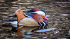 Mandarin Duck (Aix galericulata) (ER Post) Tags: bird duck mandarinduckaixgalericulata hickorycorners michigan unitedstates us