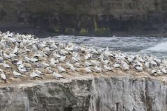 Australasian Gannets (Baractus) Tags: australasian gannets john oates