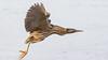 060.3 Roerdomp-20170120-J1701-43149 (dirkvanmourik) Tags: boetjevanonzekees castricum duinreservaat greatbittern roerdomp vogelsvannederland bird botaurusstellaris