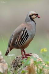 Chukar partridges (Dave 5533) Tags: partridges chukarpartridges wild nature sigma150600mmf563dgoshsm|s outdoor animal canoneos1dx wildlife naturephotography