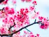 平菁街寒櫻 (紅襪熊(・ᴥ・)) Tags: sigma 150mm macro bokeh sigma150mmmacro apo f28 sigmaapomacro150mmf28 sigmamacro150mmf28 150mmf28 sigma150mmf28 olympus omd em1 m43 micro43 microfourthirds olympusem1 平菁街 陽明山平等里 寒櫻 sakura 櫻 櫻花 cherryblossoms pink flower flowers blossom blossoms castle cherry cherryblossom cherryblossomfestival cherrytree cherrytrees garden light nature park plant sky spring travel tree trees white さくら サクラ 春 桜 花 花見 賞櫻 日本 japan 粉 粉紅 陽明山 花季 賞花