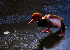 On Thin Ice (MrBlueSky*) Tags: redcrestedpochard duck bird waterfoul animal wildlife outdoor ice kewgardens kingdomanimalia london aficionados aquaticbird ngc pentax pentaxart pentaxk1 pentaxlife pentaxawards nature