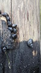 Oiled Rock periwinkle snails (Family Littorinidae) (wildsingapore) Tags: threats oil spill pollution changi carpark3 littorinidae mollusca gastropoda island singapore marine coastal intertidal shore seashore marinelife wildsingapore spills