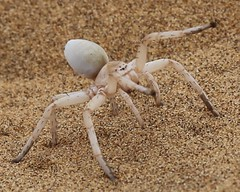 Lady Spider ( one of the Little Five) - Swakopmund