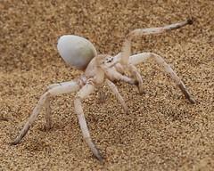 Lady Spider ( one of the Little Five) - Swakopmund