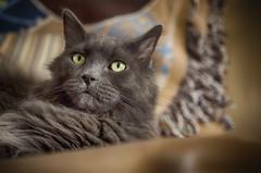 Settling In (flashfix) Tags: march032017 2017 2017inphotos nikond7000 nikon ottawa ontario canada 40mm fyero cat feline ragdoll ragamuffin nebelung fluffy blanket caturday lazysaturday portrait flashfix flashfixphotography